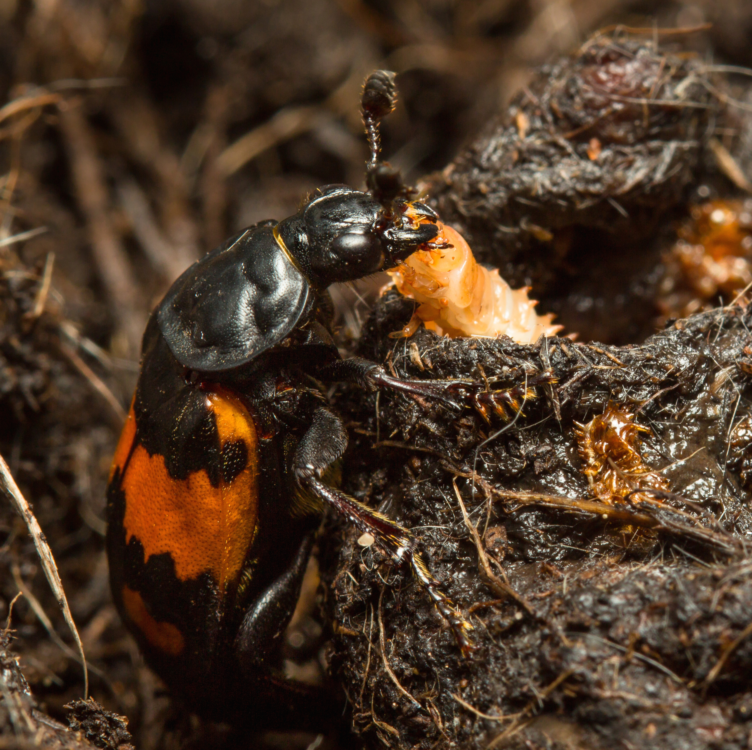Neglected Baby Beetles Evolve Greater Self Reliance University