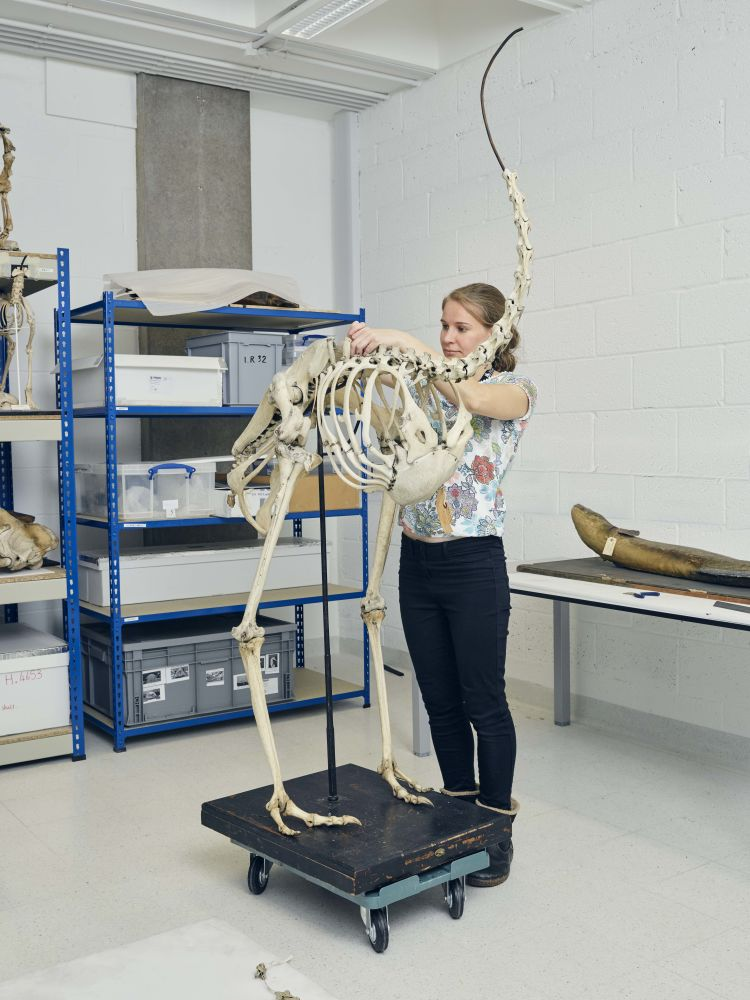 Conservator Ruth Murgatroyd working on an ostrich skeleton.