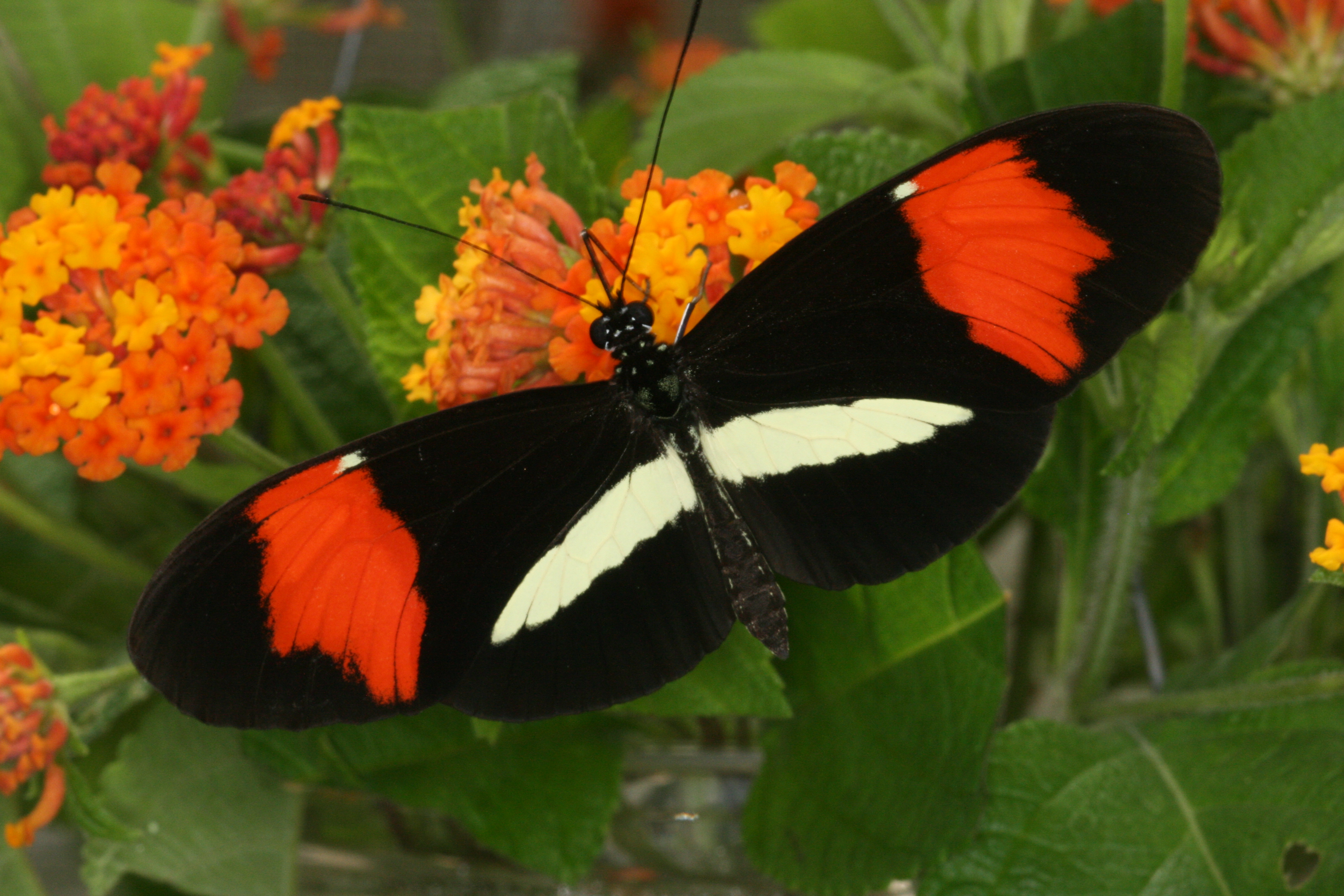 Genetic 'paint box' shuffled between butterfly species to ...
