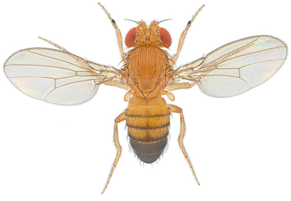 fruit fly lifespan is pineapple a citrus fruit