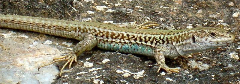 impressive-lizard-camouflage.jpg