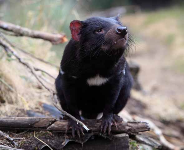 What Transmission Do I Have >> Tasmanian Devils and the transmissible cancer that threatens their extinction | University of ...