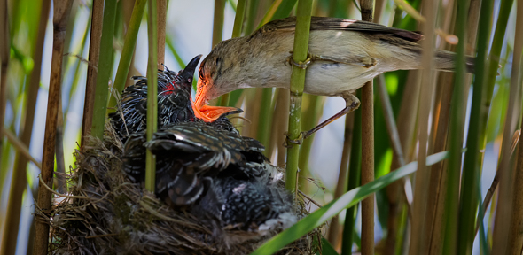 The Reed Warbler And The Cuckoo An Escalating Game Of Trickery And Defence University Of Cambridge