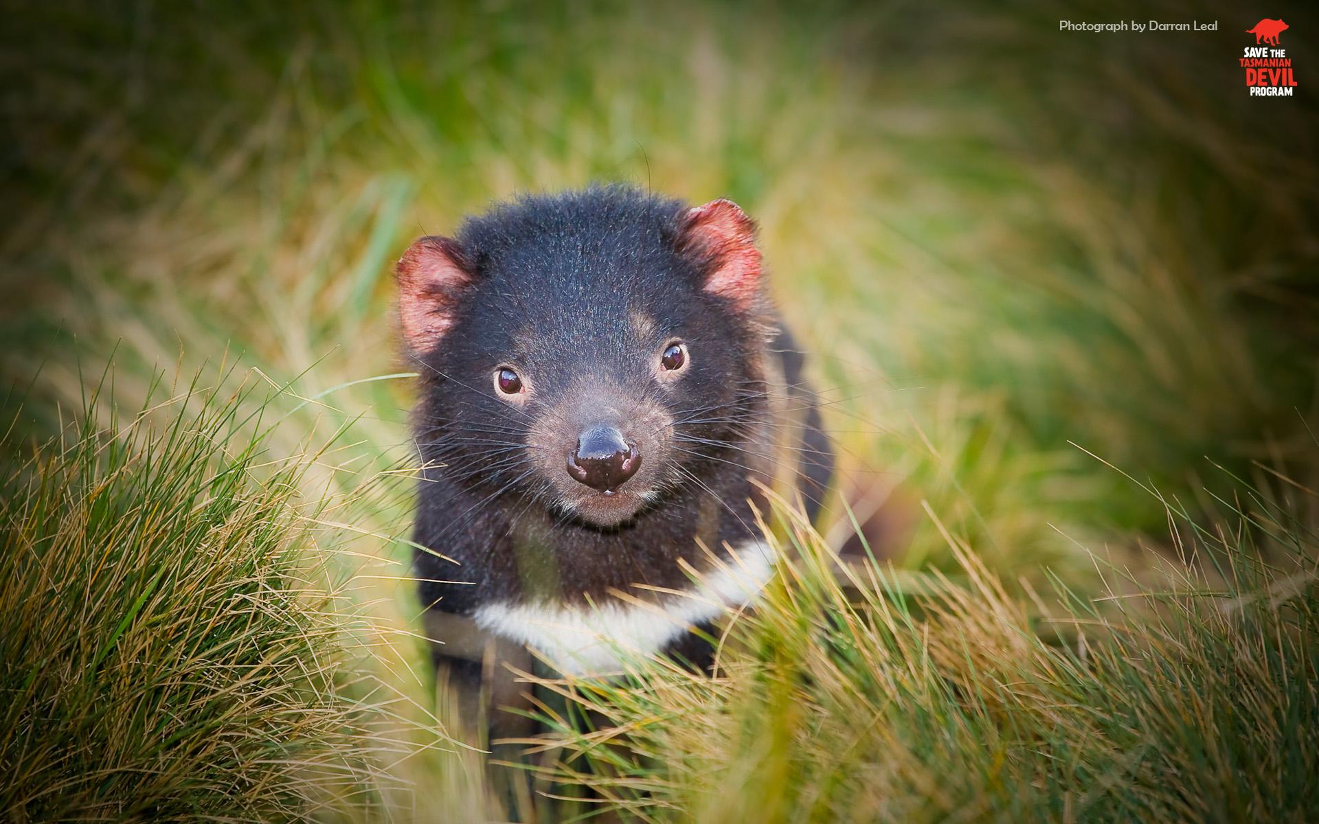 Hope for threatened tasmanian devils university of cambridge - Tasmanian devil pics ...