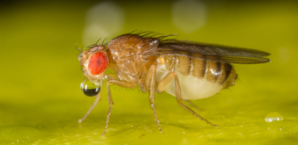 Fruit Fly Model Of Deadly Brain Diseases Could Lead To