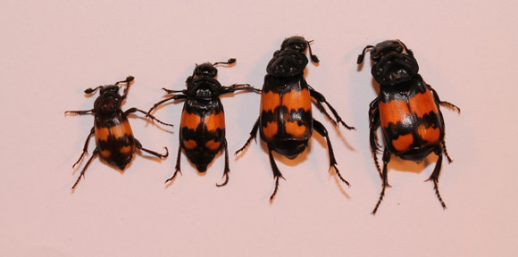 Speed Of Animal Evolution Enhanced By Cooperative Behaviour