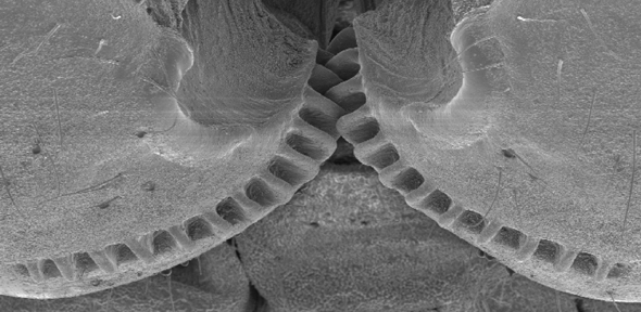 Functioning 'mechanical gears' seen in nature for the first time
