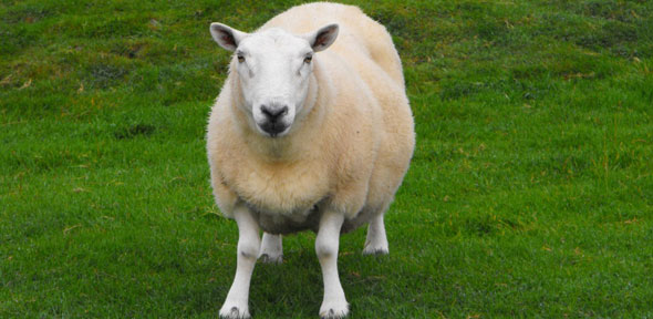 researchers design ai system to assess pain levels in sheep