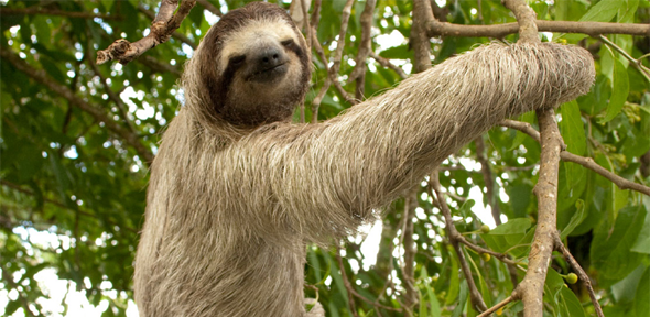 How Sloths Got Their Long Neck University Of Cambridge
