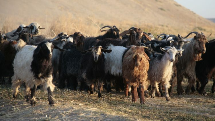Goats traverse the mound