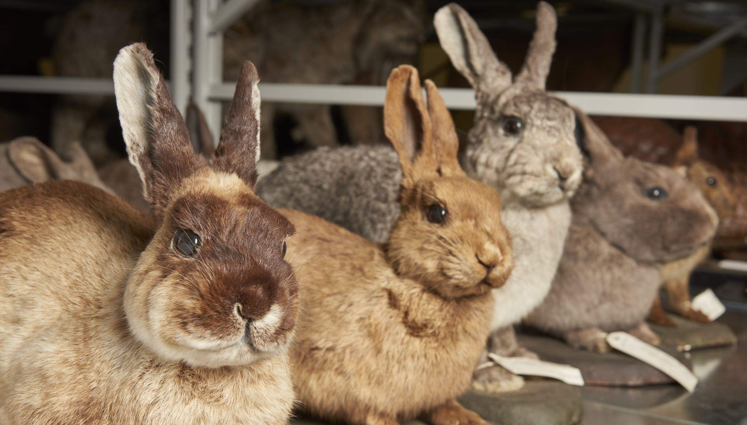 Rabbit collections at the Natural History Museum in London. Image courtesy of the Trustees of the Natural History Museum.