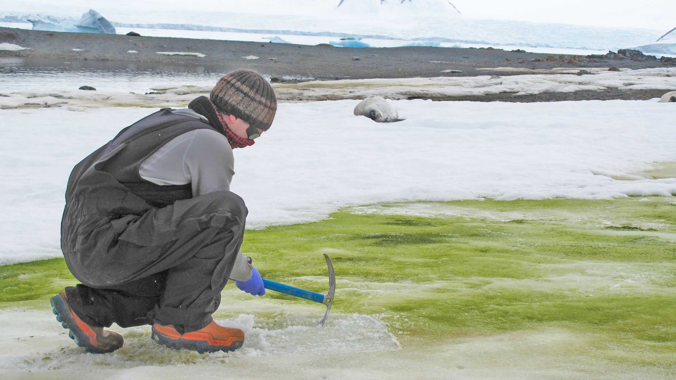 Matt Davey sampling snow algae at Lagoon Island, Antarctica. Credit Sarah Vincent