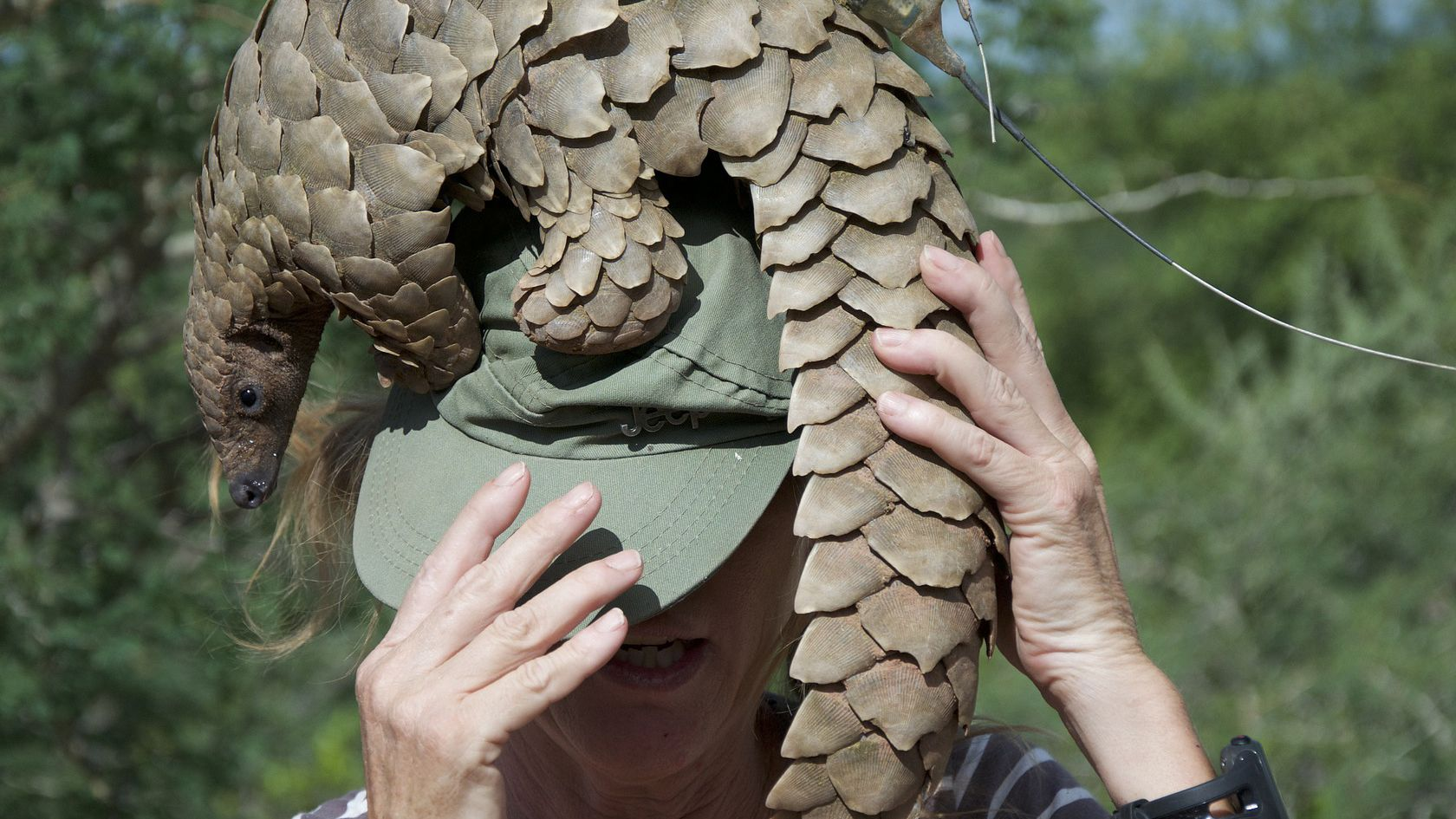 A live pangolin sitting on a person's head in Namibia. Image courtesy of Alex Strachan via pixabay