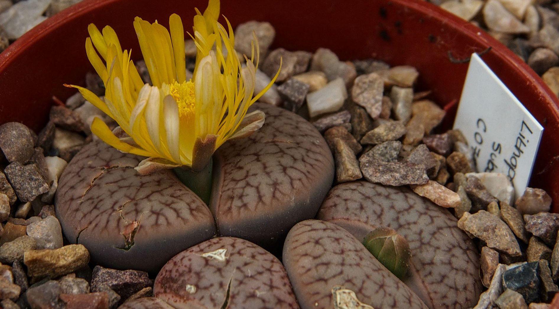 Lithops pseudotruncatella subsp. Dendritica at the Cambridge University Botanic Garden