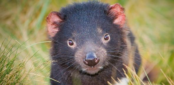 Darran Leal, Save the Tasmanian Devil Program