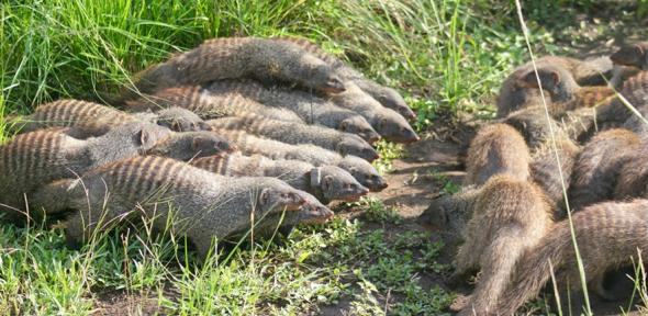 Mongoose groups fighting