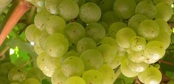 13 - grapes