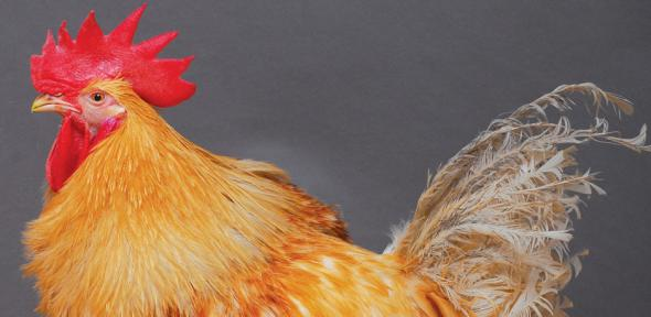 genetically modified chicken - photo #26