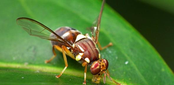 Queensland Fruit Fly, Bactrocera Tryoni