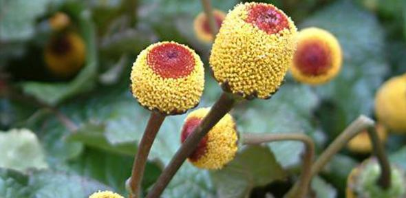 The plant used in the rainforest remedy