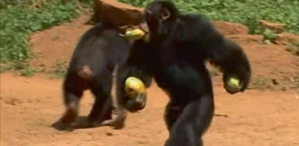 A chimpanzee moving bipedally during the study.