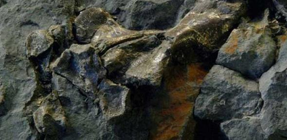 Limb of a terrestrial tetrapod recovered from a Scottish riverbed by Stanley Wood in 2005