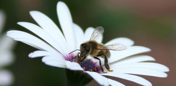 Bees are important pollinators of daisies and many other flowers