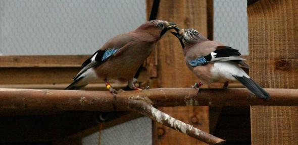 Eurasian Jay mating pair engaged in food-sharing