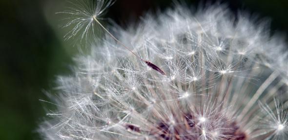 Taraxacum seed head