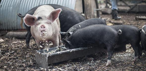 Organic Pet Pig Food