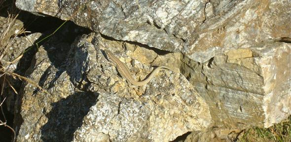 Lizards actively camouflage themselves by choosing the right rocky ...