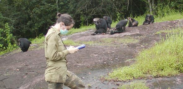 Researcher recording data on a group of habituated chimpanzees (Pan troglodytes verus) in Taï National Park, Ivory Coast.