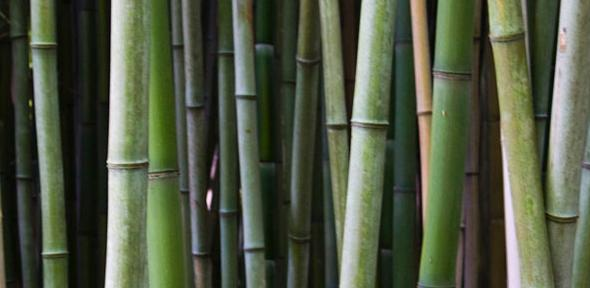 Floriography - Tree & Flower Symbolism  Bamboo-by-the-pug-father-on-flickr