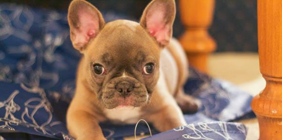 french bulldog puppies omaha french bulldog frenkie39s t french bulldog dogs and 9960