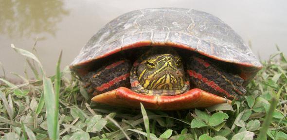 Red gene in birds and turtles suggests dinosaurs had birdlike