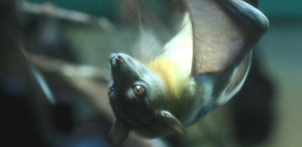Straw coloured fruit bat