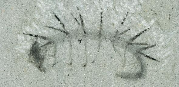 Fossil Hallucigenia sparsa from the Burgess Shale