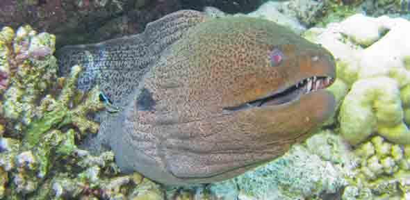 Giant moray eel and grouper dating