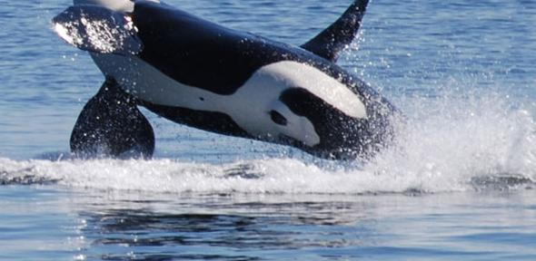 Orcas breach