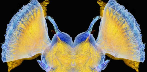 locust brain