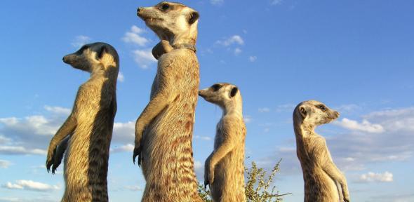WildEarth films Gosa gang meerkats | News24