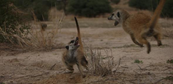 Meerkat Manor: Flower of the Kalahari: Tim Clutton-Brock ...