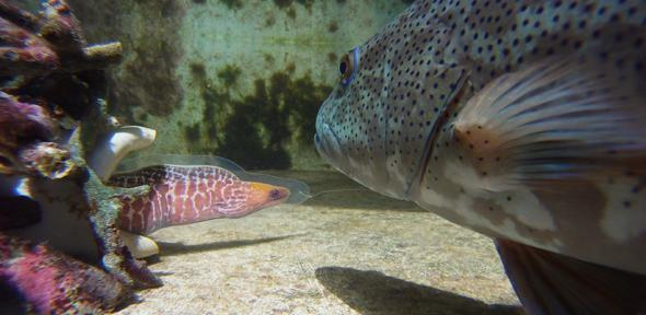 Coral trout with modal of moray eel during experiment