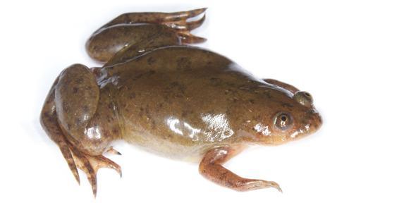 Xenopus frog