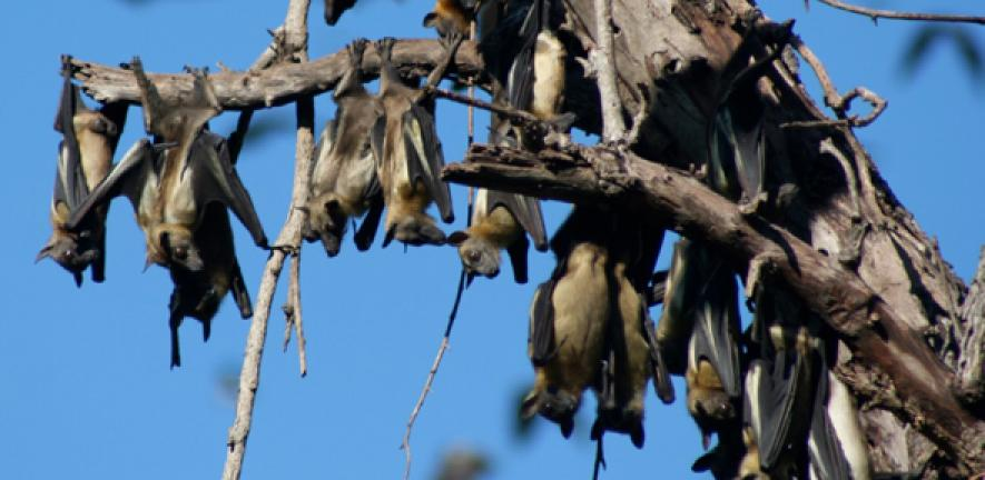 Fruit bat population covering central Africa is carrier of two deadly  viruses | University of Cambridge