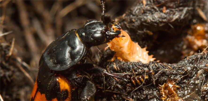 Sexton beetle and larva.