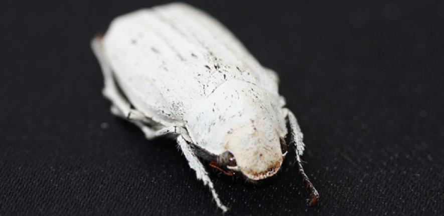 Cyphochilus beetle