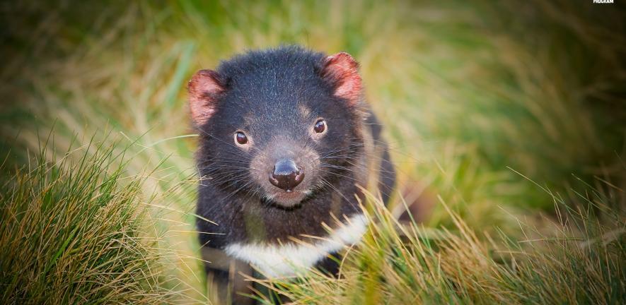 Darran Leal, Save the Tasmanian Devil Program