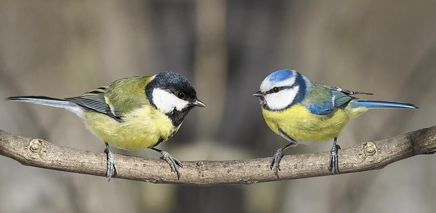 Great tit and blue tit. Credit: Nataba, Adobe Stock images