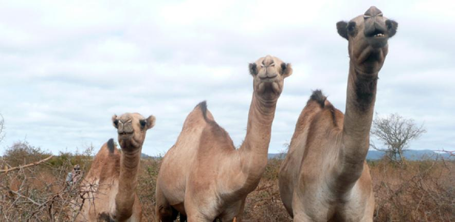 Farming the 'long-necked thing': moving from cows to camels